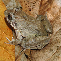 13 loài cóc, ếch kỳ lạ: Việt Nam có 2 đại diện