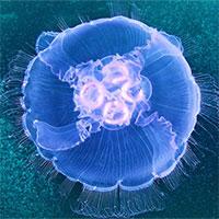 Các nhà khoa học vừa tạo ra loài sứa nửa robot