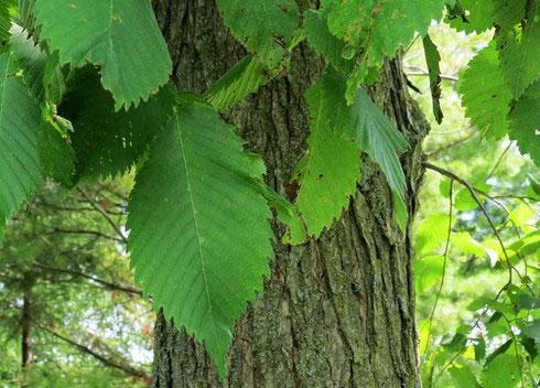 Lá cây 6.000 năm tuổi gần như nguyên vẹn tại Anh.