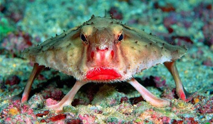 Cá dơi môi đỏ