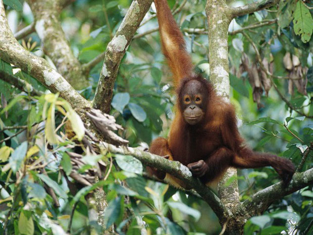 Đười ươi Borneo