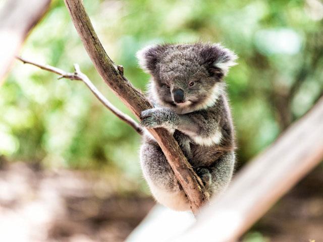 Phần lớn năng lượng của Koala đã phải dùng để… tiêu hóa rồi, tốt nhất là hạn chế vận động.