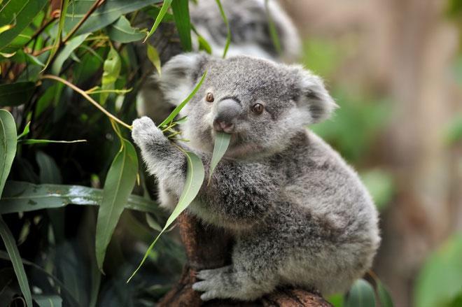 Koala là một trong những con vật hiếm hoi không cần uống nước