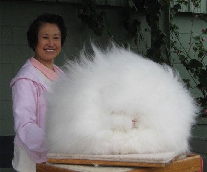 Thỏ Angora