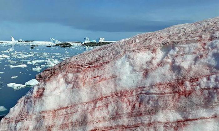 Tảo Chlamydomonas nivalis khiến một phần băng tuyết Nam Cực chuyển đỏ.