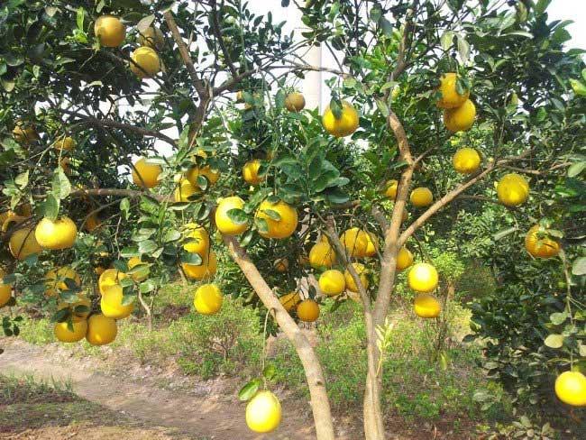 Khi trồng bưởi, nên thăm vườn thường xuyên, tỉa bỏ các cành vượt, cành sâu bệnh.