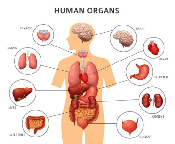 Các bộ phận trong cơ thể người