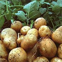 Bảo quản khoai tây bằng cát khô