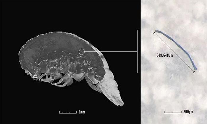 Vi nhựa trong bụng của Eurythenes plasticus.