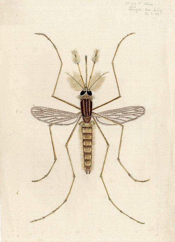 Muỗi Culese số 109 (muỗi đực) bắt ở Hữu Lũng, Lạng Sơn được kỹ thuật viên Vi Kim Ngọc vẽ tháng 7-1963.