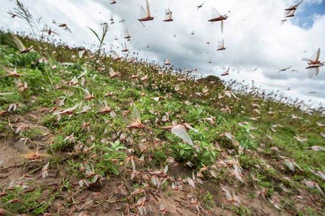 Đàn châu chấu tại Kenya, ngày 24 tháng 1.