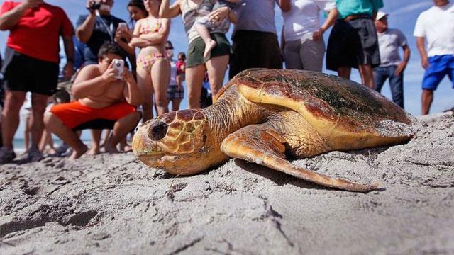 Rùa caretta được đưa trở lại biển.