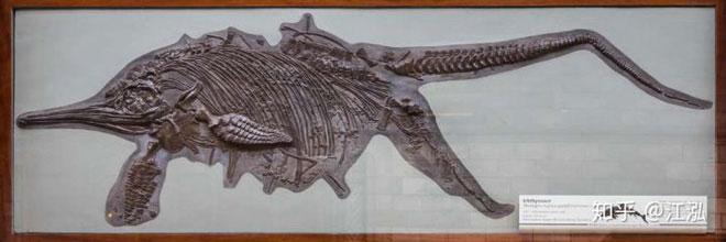 Mẫu hóa thạch của thằn lằn cá canh hẹp hoàn hảo nhất từng được phát hiện.