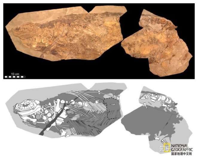 Hóa thạch thằn lằn cá.