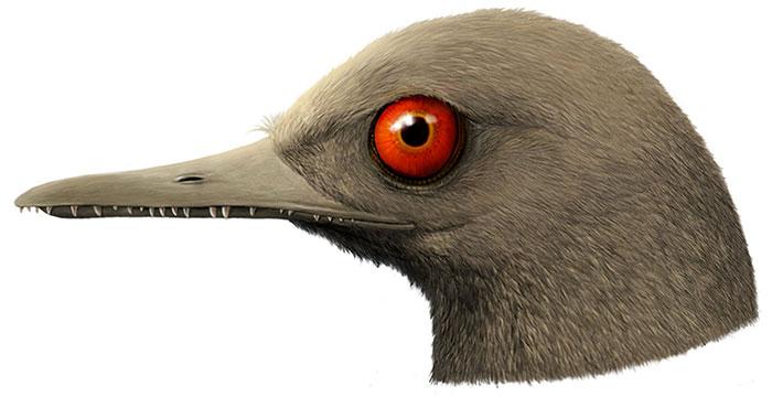 O. khaungraae có mỏ dài chứa tới 100 chiếc răng.