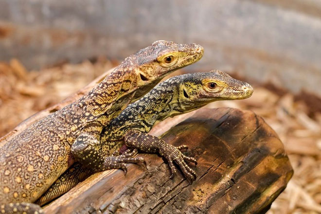 Hai trong số ba con rồng Komodo con được sinh sản đơn tính từ con mẹ Charlie.