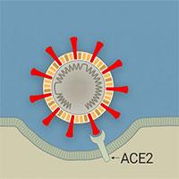 Virus corona tấn công tế bào cơ thể người như thế nào?