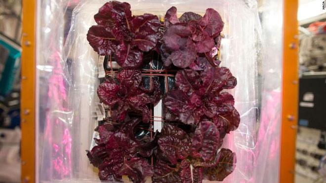 Rau diếp đỏ đã được kiểm định có chất lượng gần như tương đương với khi được trồng tại Trái Đất.