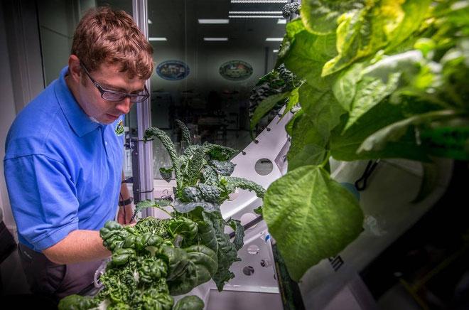 Thí nghiệm trồng rau diếp đỏ trong môi trường không gian được thực hiện từ năm 2014-2016