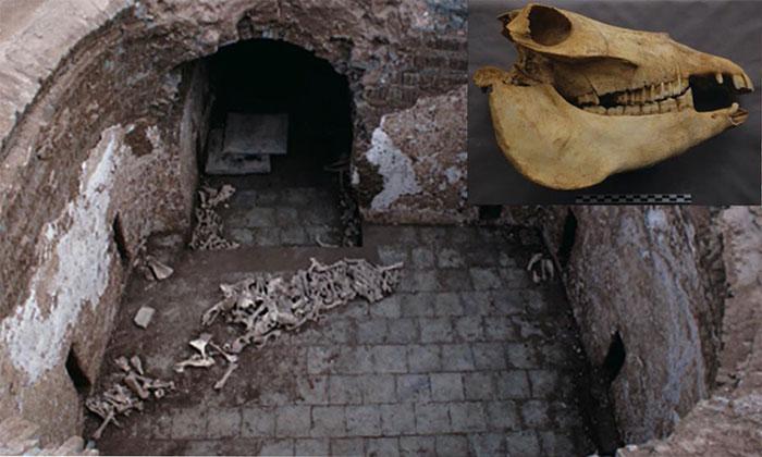 Xương và hộp sọ lừa (ảnh góc trên bên phải) trong lăng mộ Cui Shi.