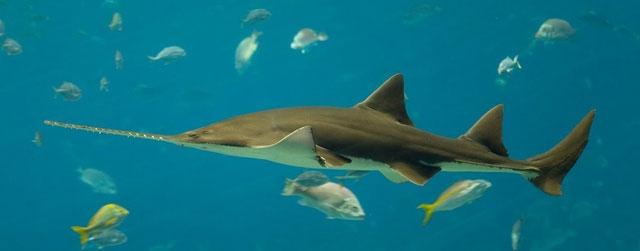 Cá mập lưỡi cưa dùng chiếc mũi đặc thù làm vũ khí săn mồi hữu dụng.