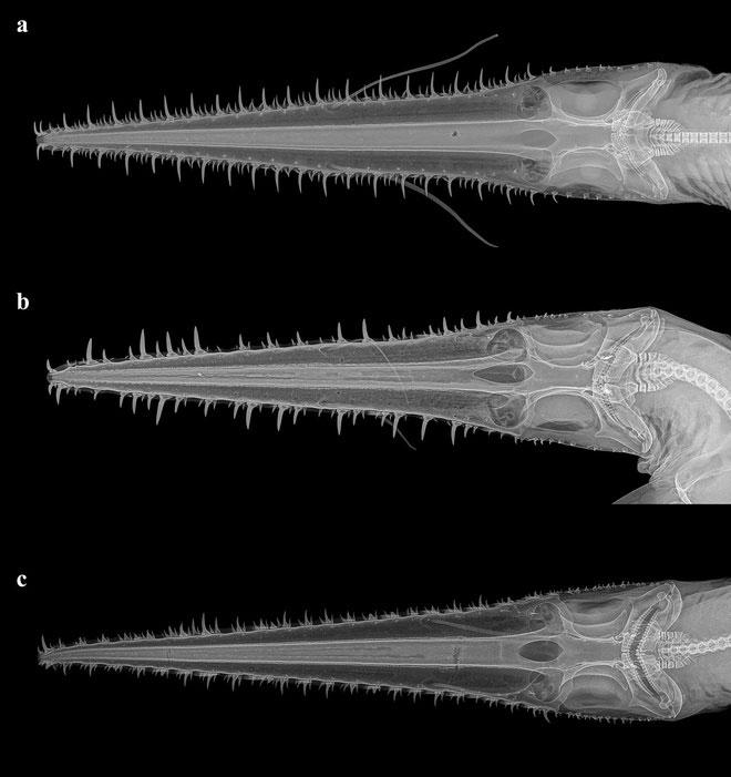 Hình X-quang xương hàm của 3 loài cá mập lưỡi cưa 6 khe mang.