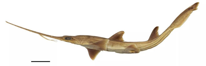 Hai loài cá mập lưỡi cưa hiếm được phát hiện sống ở phía tây Ấn Độ Dương.