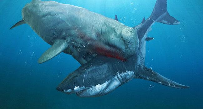 Cá mập Melvillei vượt trội hơn Megalodon nhờ có trí thông minh.
