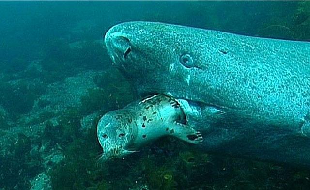 Cá mập Greenland thường phục kích săn hải cẩu.