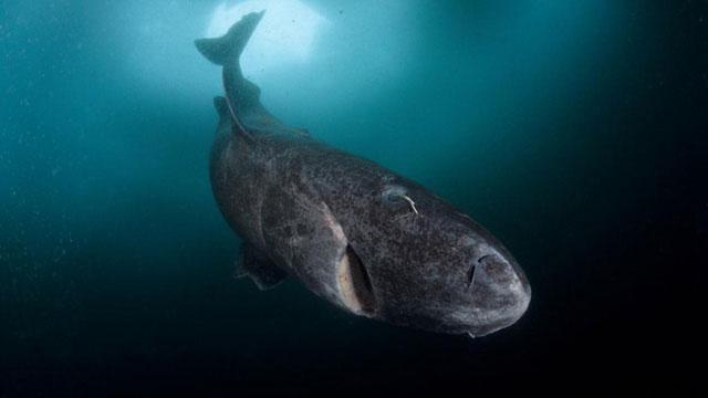 Cá mập Greenland có tuổi thọ trung bình lên tới 200 tuổi.