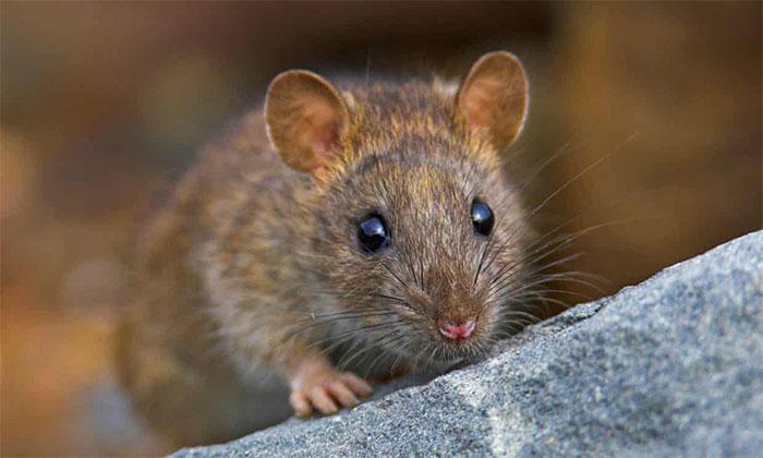 Nhiều người Alberta thậm chí chưa từng thấy chuột ngoài đời thực