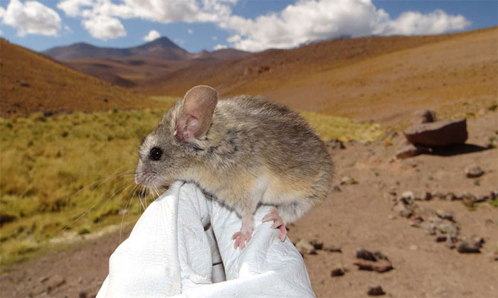 Chuột Phyllotis xanthopygus bám trên găng tay của nhà khoa học.