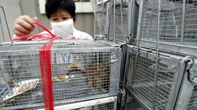 Virus hanta có thể bắt nguồn từ chuột nhiễm bệnh.