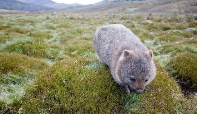 Gấu túi Wombat