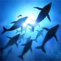 Hoạt động di cư bí ẩn của cá voi