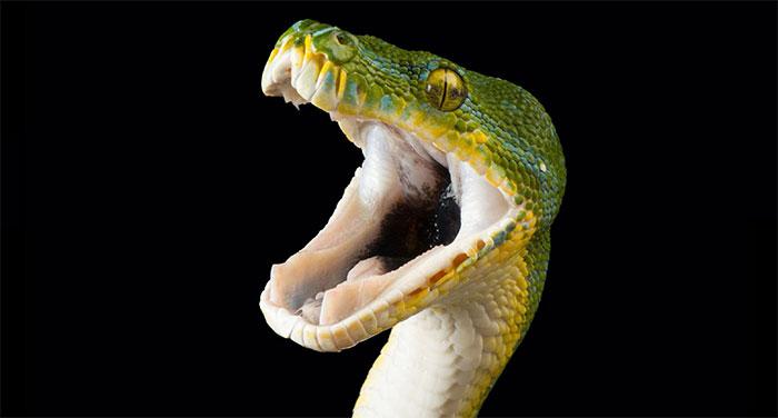 Rất có thể nọc rắn đã phát triển như một công cụ để săn mồi.
