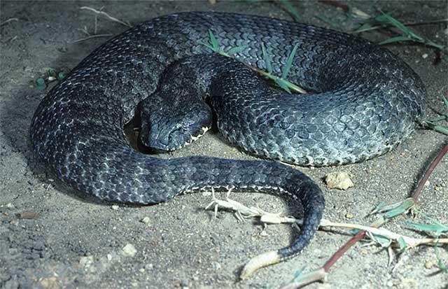 Người bị loài rắn này cắn có thể tử vong chỉ sau 6 giờ nếu không được chữa trị kịp thời.
