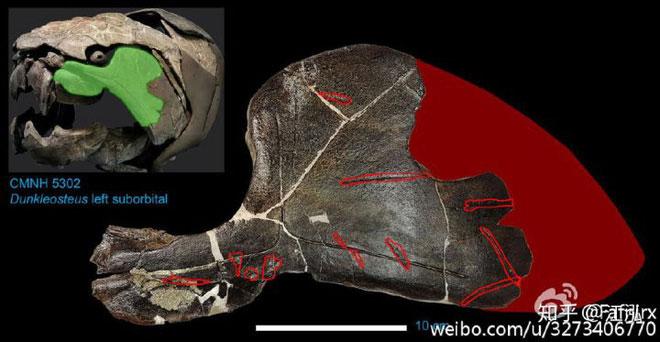 Dunkleosteus thường xuyên nhả các xương của con mồi ra chứ không hoàn toàn tiêu hóa chúng