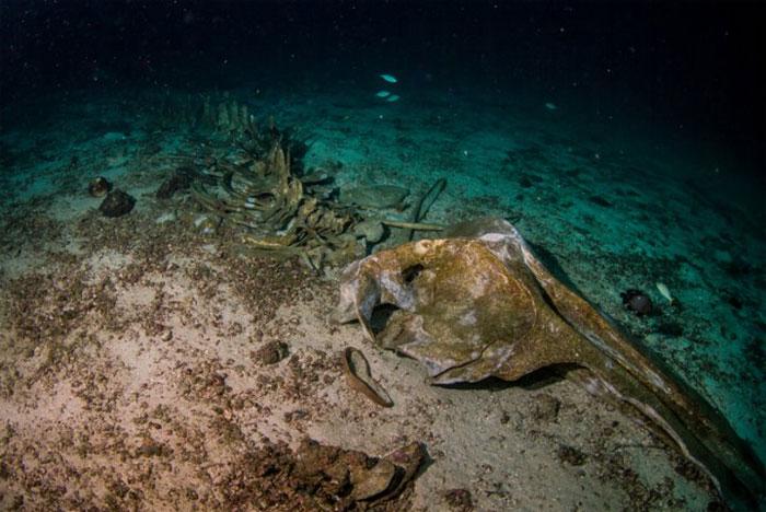 Khi một con cá voi chết đi và chìm xuống, một hệ sinh thái tại chỗ phức tạp sẽ hình thành xung quanh nó.