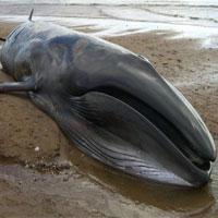 Tại sao xác cá voi chết lại cực kỳ nguy hiểm?