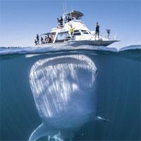 Bí ẩn của cá mập voi đã có lời giải đáp