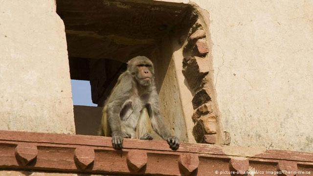 Khỉ Rezut và người có 90% DNA giống nhau.