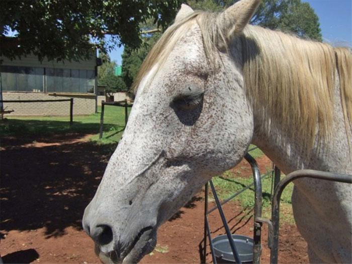 Các triệu chứng bệnh AHS ở động vật bao gồm sốt, sưng quanh mắt, môi, má, lưỡi và cổ.