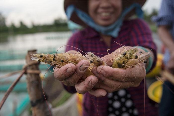 Khi tôm nhiễm bệnh, ngư dân Trung Quốc không thể làm bất cứ điều gì ngoài việc loại bỏ tôm và bán chúng với giá rẻ mạt, sau đó rút sạch nước tại các ao và để không chúng trong ít nhất hai tháng. (Ảnh minh họa: AFP).