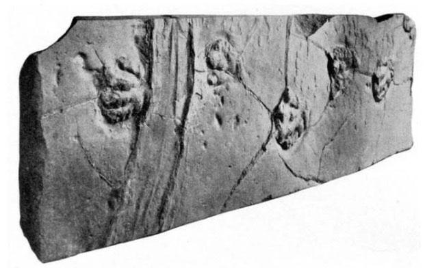 Dấu vết này trên hóa thạch dấu chân khủng long được cho là do một tảng đá trượt tạo ra.