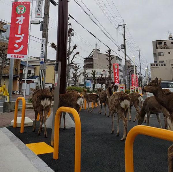 Nai tràn ra đường ở TP Nara - Nhật Bản.