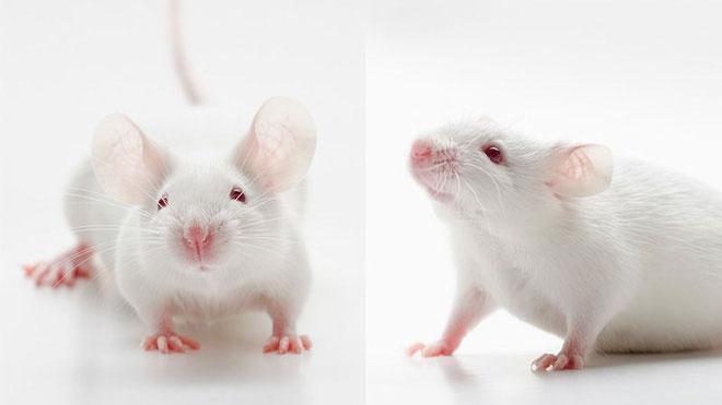 Cơ mặt của chuột sẽ dịch chuyển nhẹ khi cảm xúc của chúng thay đổi.