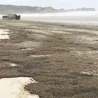 """""""Rợn người"""" trước cảnh hàng triệu con bọ phủ kín đen kịt trên bãi biển"""
