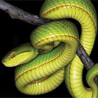Loài rắn vừa được phát hiện có tên trong Harry Potter