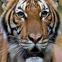 Thêm 4 con hổ, 3 con sư tử dương tính với virus ở Mỹ